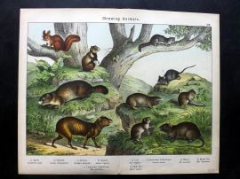 Kirby & Schubert 1889 Antique Print. Agouti, Hamster, Marmot, Squirrel, Mouse